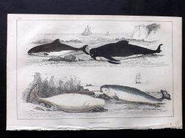 Goldsmith C1850 Hand Col Print. Porpoise, Whale, Narwhal